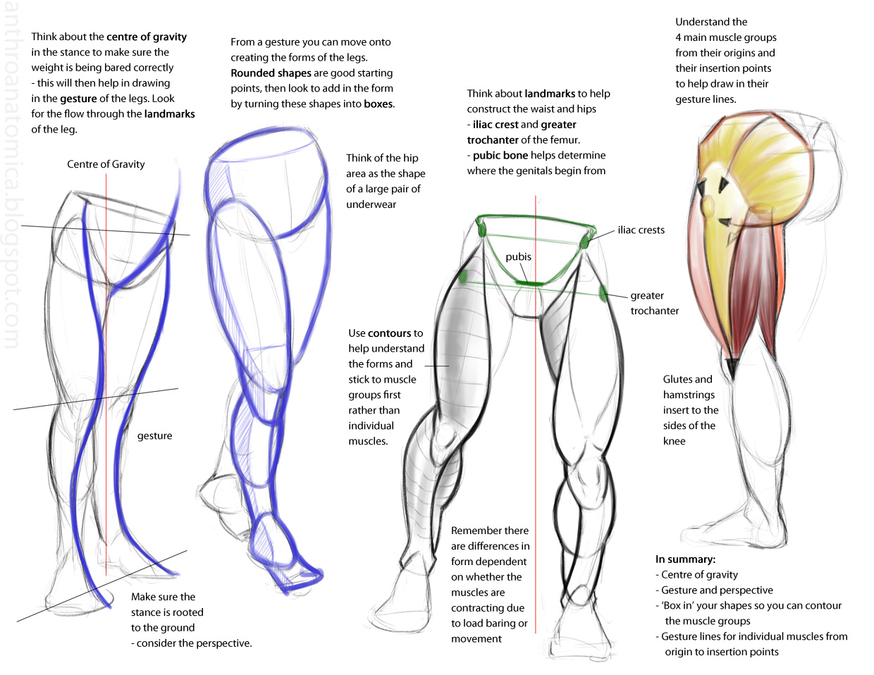 Anthro Anatomica: Points when drawing plantigrade legs