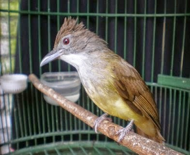 Tips Merawat Burung Cucak Jenggot Agar Gacor Full