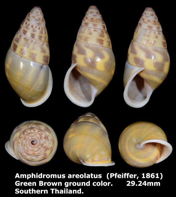 Amphidromus areolatus 29.24mm