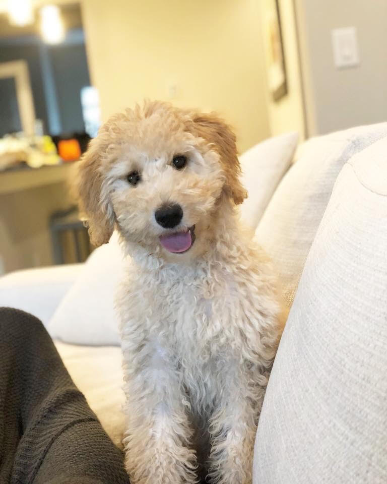 F1B Goldendoodles, 35 to 40 lbs, Coming in April