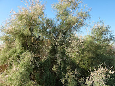 Tamarix pentandra - Saltcedar, Tamarisk or Tamarix – Along a Ditch