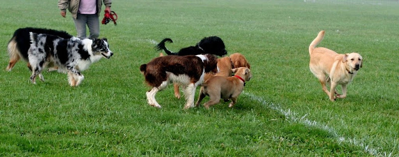 two groupings of dogs, including two aussies, a portugese water dog, springer spaniel, and two puppies, all running toward cabana, who is off by herself a few feet and running toward the camera