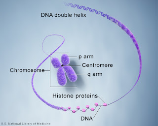 DNA and histone proteins are packaged into structures called chromosomes. Image Credit: U.S. National Library of Medicine