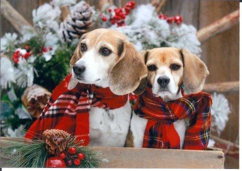 Top 25 best Beagle dog ideas on Pinterest Beagle