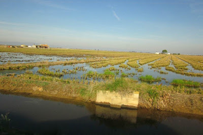 Rice fields in Delta de l'Ebre