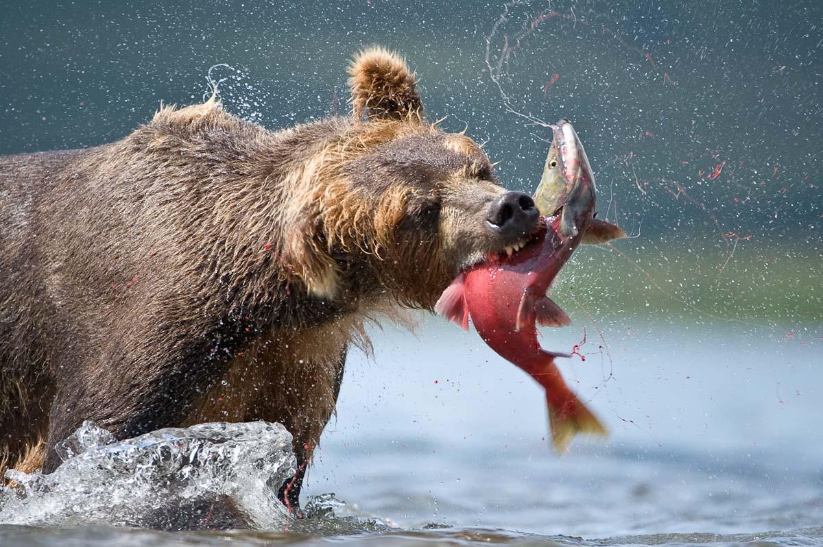 камчатка медведи на рыбалке видео