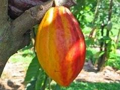 Kandungan Gizi dan Manfaat Buah Cokelat Bagi Tubuh