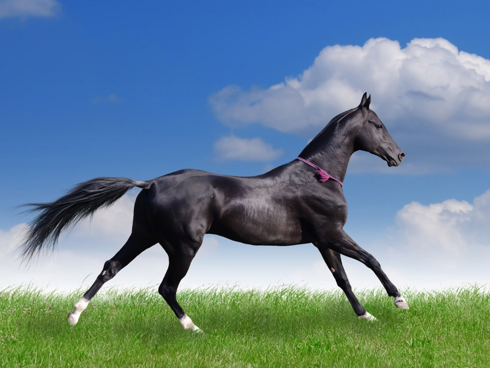 Download   Wallpaper Horse Couple - akhal+teke+horse+hd+wallpaper  Snapshot_447988.jpg