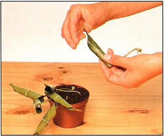 Чтобы сократить потери влаги, скрутите лист и закрепите эластичной круглой резинкой
