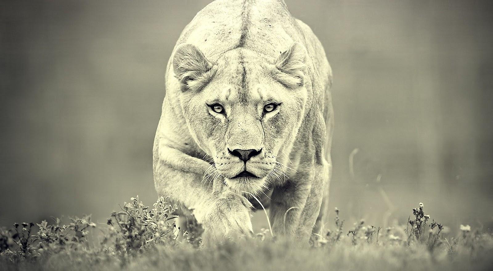 http://2.bp.blogspot.com/-Dr_r4XosGJs/UE3PjP1VzZI/AAAAAAAABeA/Rl0hu4bMHlM/s1600/lioness_hunting-wallpaper-1920x1080.jpg