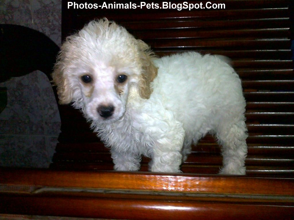 Pictures of poodles