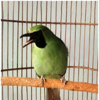 Ciri-Ciri Burung Cucak Hijau Yang Baik, Ciri-Ciri Burung Cucak Hijau Jantan, Ciri-Ciri Burung Cucak Hijau Betina, Jenis Burung Kicau Cucak Hijau