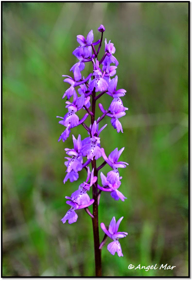 Orquídeas Blog de Angel Mar: Primeras orquídeas en flor en la Sierra ...