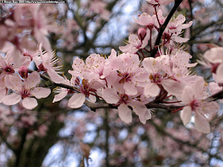 Cherry_Blossom_Wallpaper