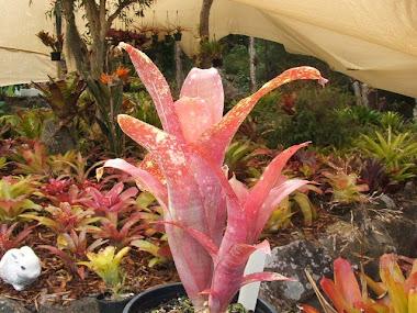 Catherin Wilson  hyb.   X   Pyramidalis  var.  concolor