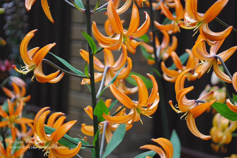 Лилия-мартагон Orange Marmalade
