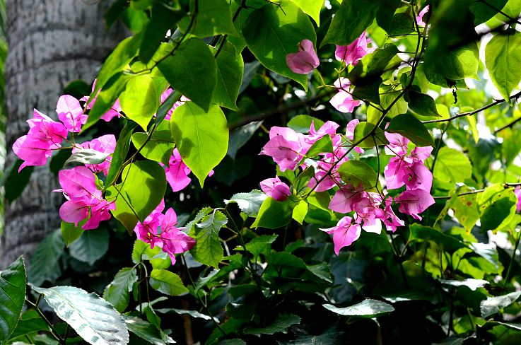 Legian beach hotel, tropical garden, Bali, Indonesia, Pink flowers