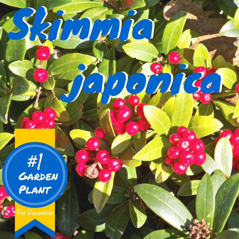 Skimmia Japonica number one plant for December