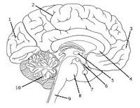 10 fakta unik otak