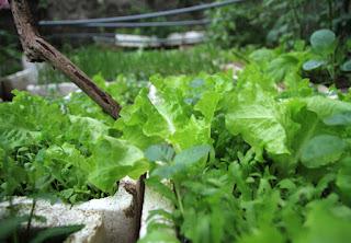 Vườn rau sạch gia đình nhỏ  vuon rau sach gia dinh