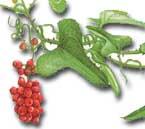 remède naturel sinusite: la salsepareille...