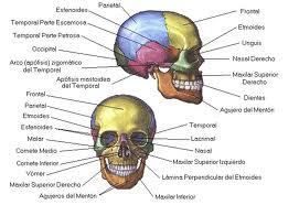 anatomia HUESOS DEL CUERPO HUMANO