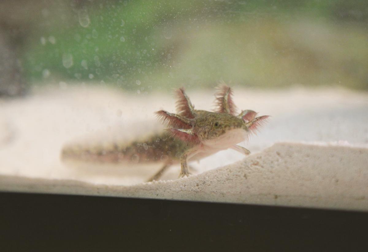 Baby Axolotl - Viewing...