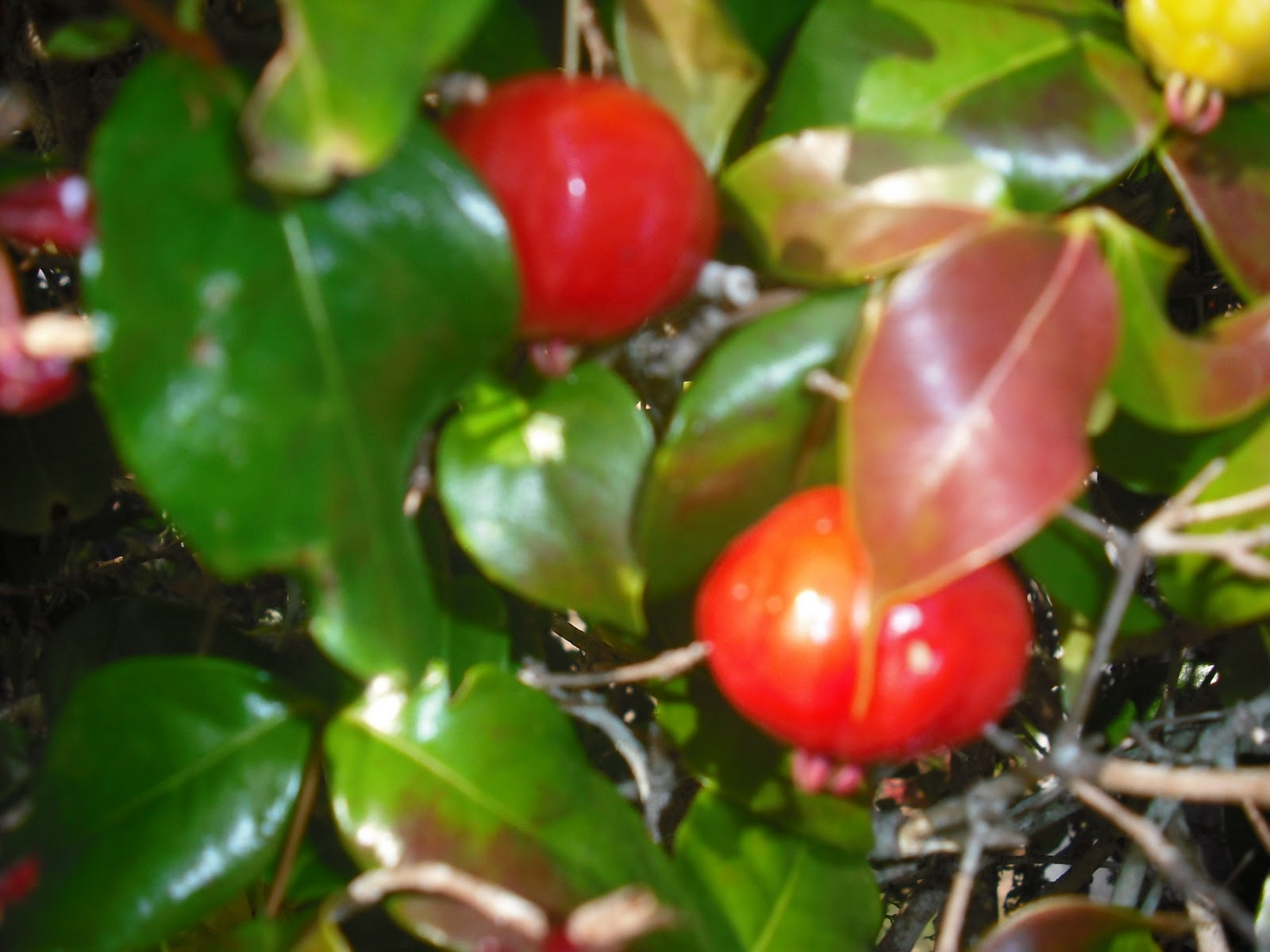 Photos and images marketing picture of a bermuda cherry tree - Romanian cherry tree varieties ...
