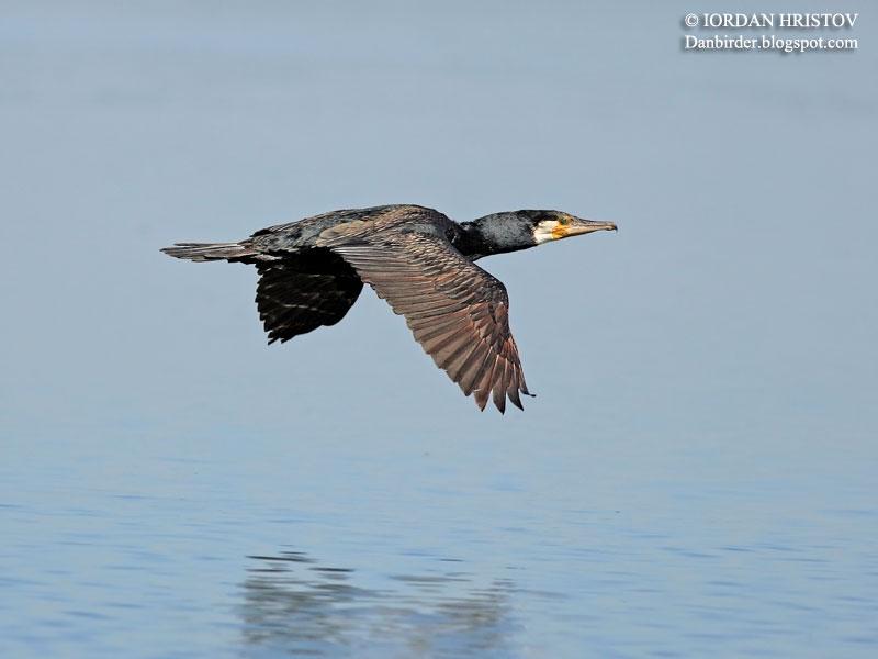 Cormorant photography