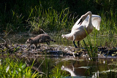 Trumpeter swan and raccoon on Beaver Dam, Boxley Mill Pond