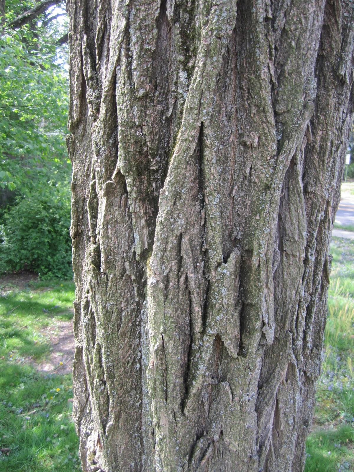 Black Locust in Bloom | Princeton Nature Notes