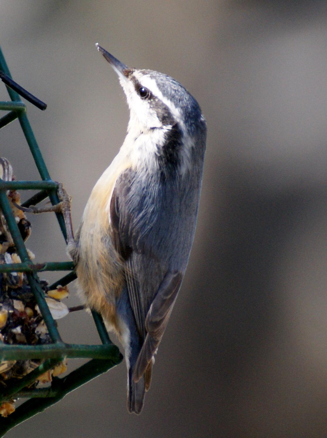 se texas birding u0026 wildlife watching backyard bird count