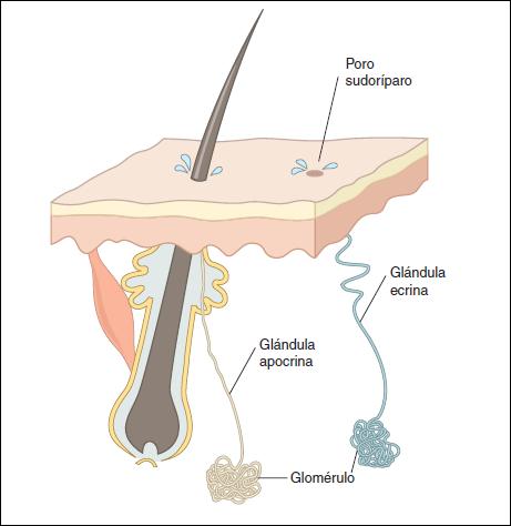 Anatomía humana: Glandulas sudoríparas