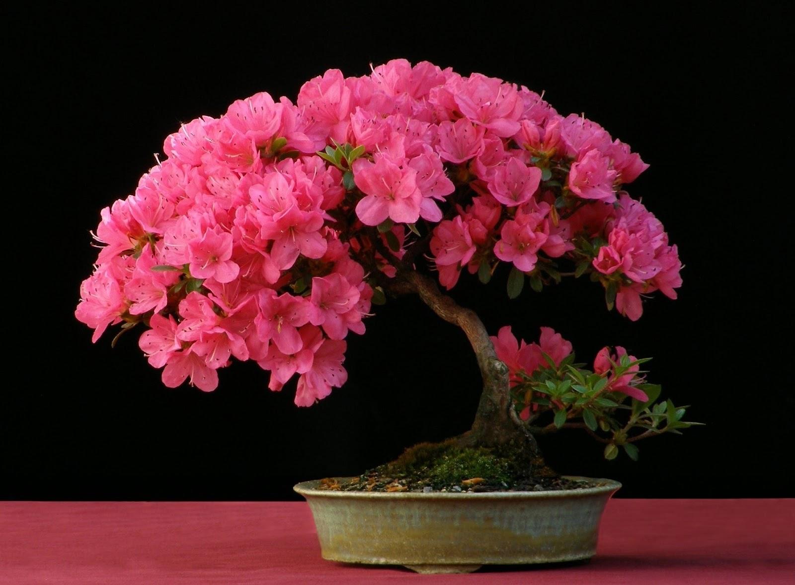 Bonsai satsuki tsutsuji azalea cuidados verde jard n - Azalea cuidados planta ...