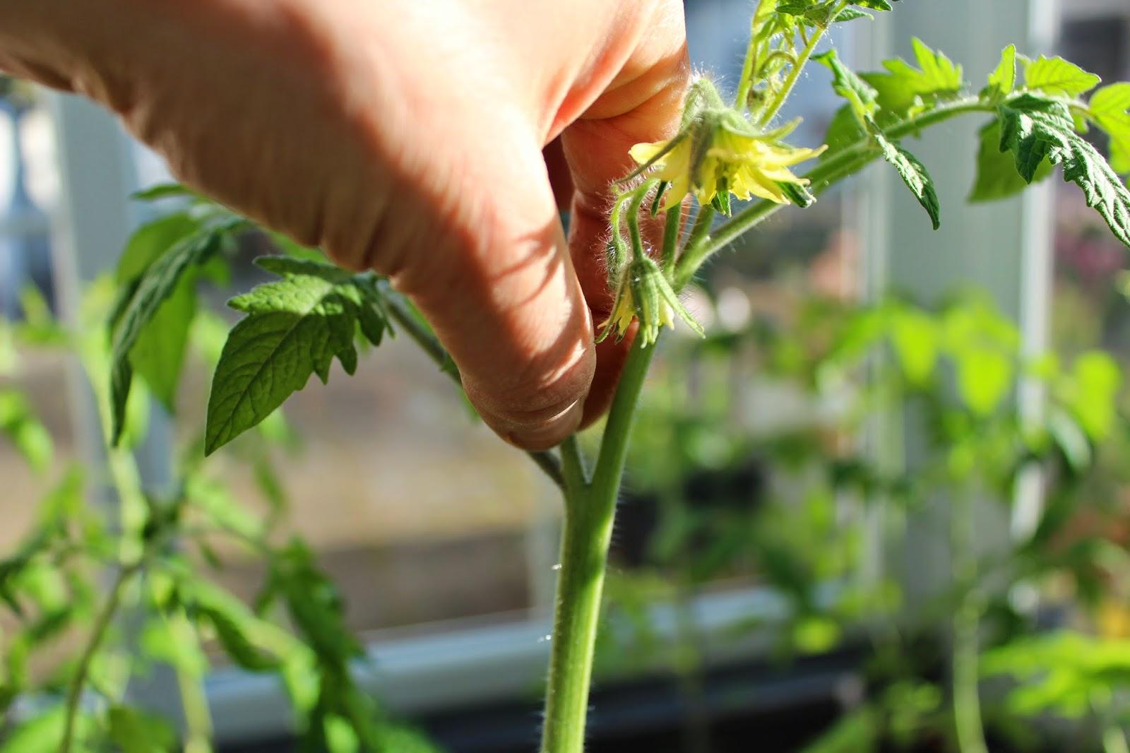 pasning af tomatplanter