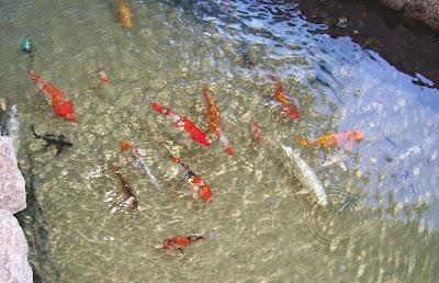 Peixes no aquário municipal. O Rio Piracicaba é formado pelo encontro do Atibaia com o Jaguari, desaguando no Tietê. Tais águas só encontram o Oceano Atlântico na foz do Rio da Prata.