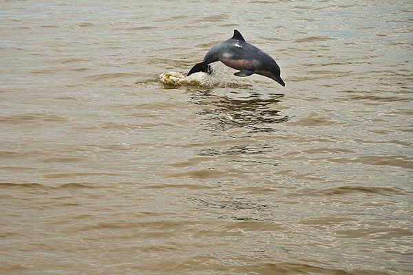 AMAZING AMAZON #12 : Amazon dolphin / Delfín amazónico