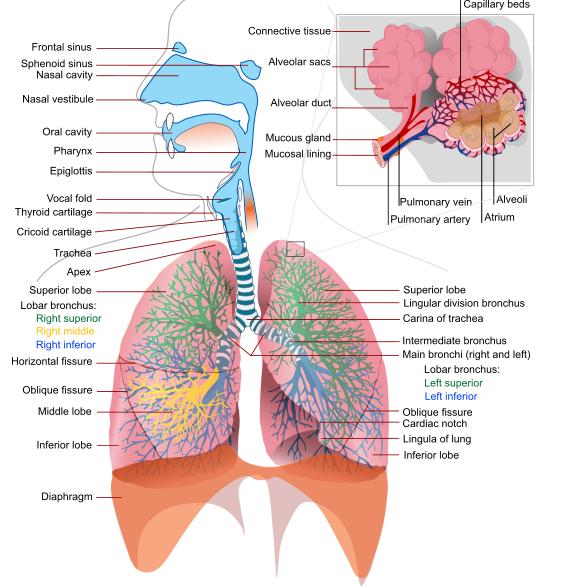 Biomechanics and pathophysiology of COPD exacerbations: Part I ...