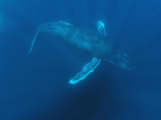 şarkı söyleyen kambur balina