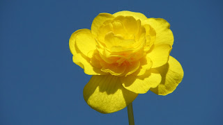 beautiful pleasing view yellow begonia flower with skyblue background hd widescreen desktop background wallpaper ajd 1920x1080.jpg