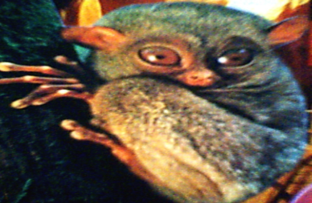 Tarsier in Rainforest Perlis