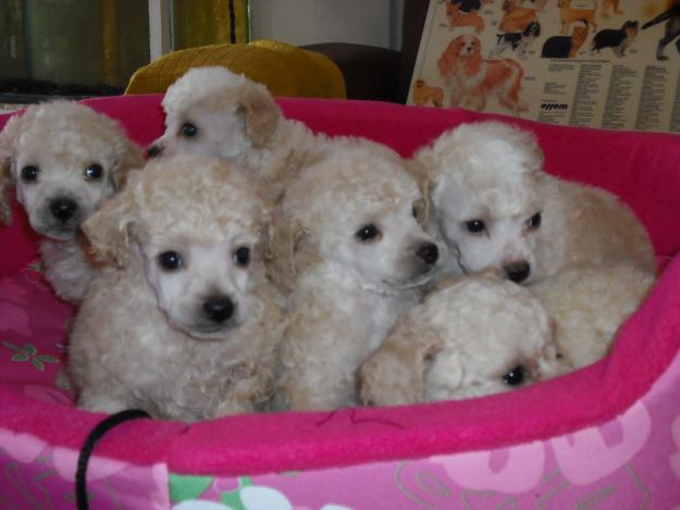 los perros french poodle