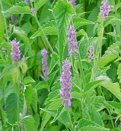 Benefits Of Anise Hyssop (Agastache Foeniculum) For Health
