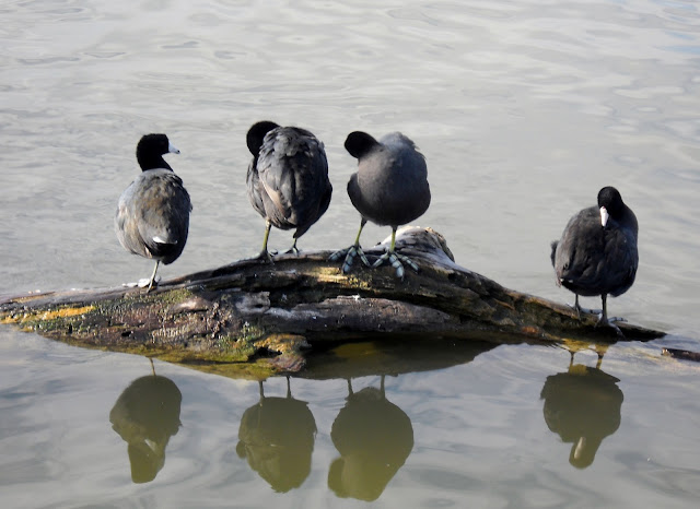 American Coots in Sunset Bay, White Rock Lake, Dallas, Texas