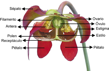 Dibujo de las partes de la flor y sus funciones - Imagui