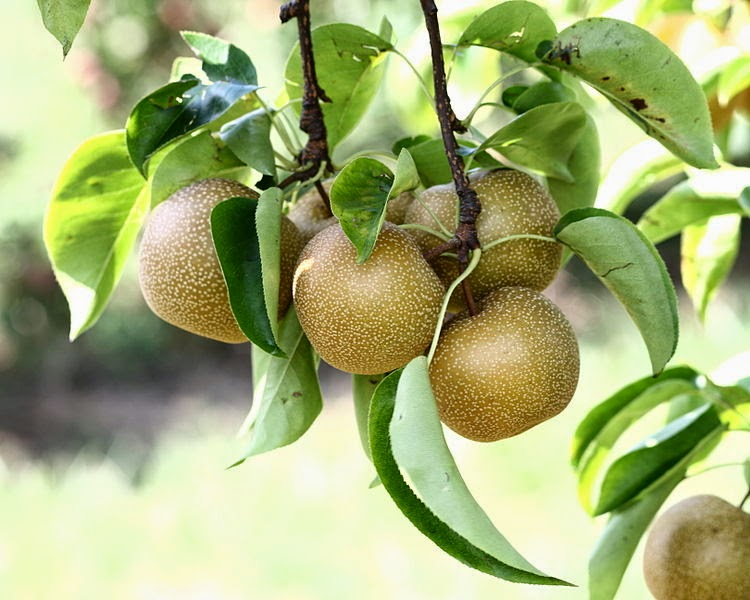reality-asian-pear-horticulture-dutch-teen-porn