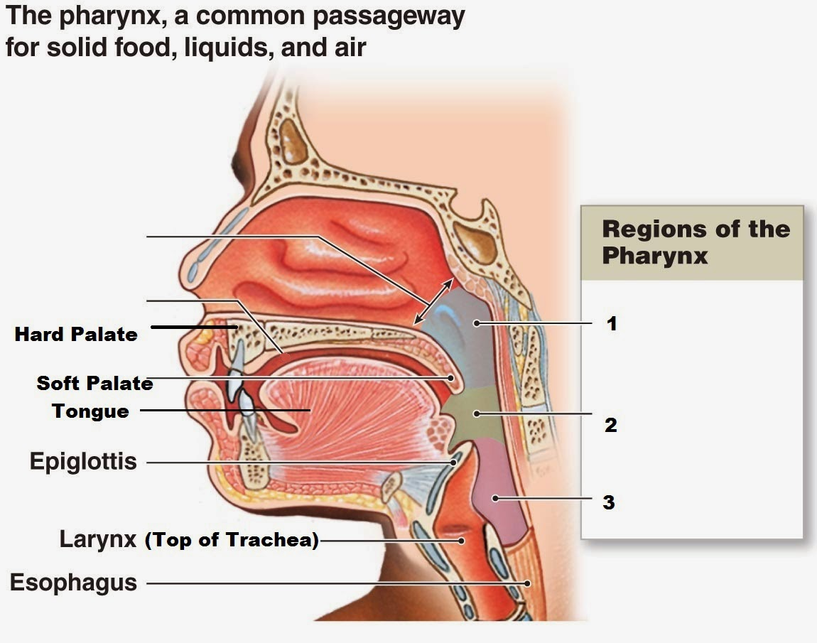 oral cavity | science concepts, Sphenoid