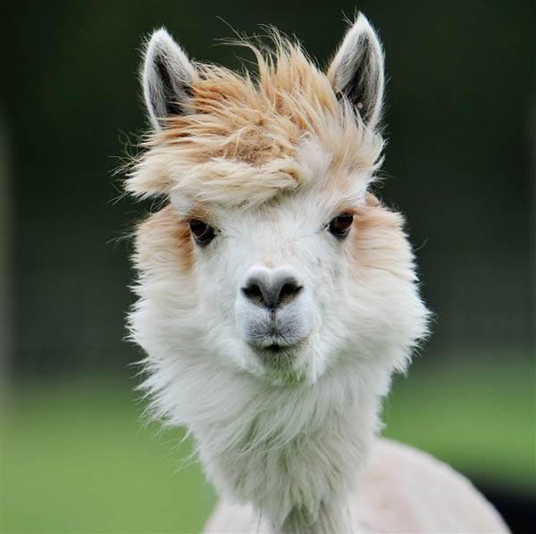 haiwan berambut gaya
