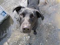 Blacklab, Rottweiler, dog, bear guard