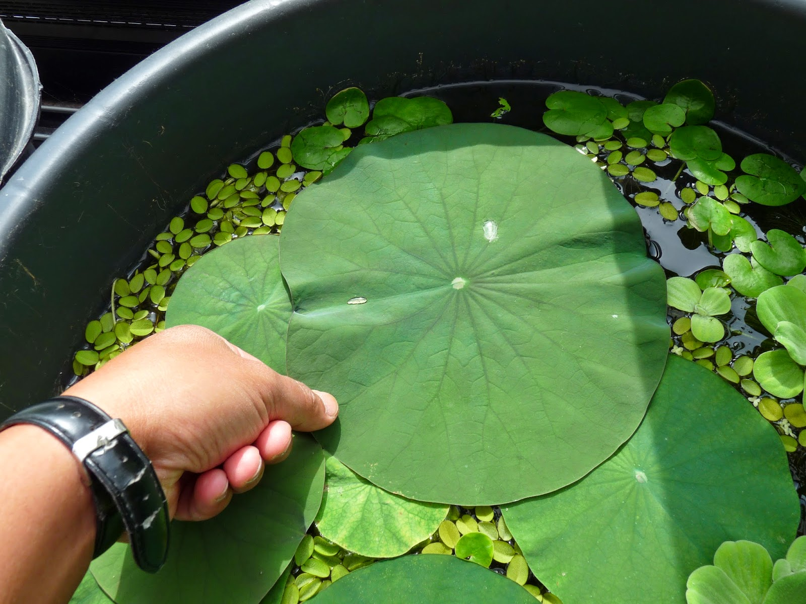 Image gallery nelumbo nucifera seeds for Lotus plant for sale